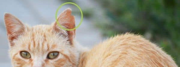 Marcaje de oreja para detectar metodo ces