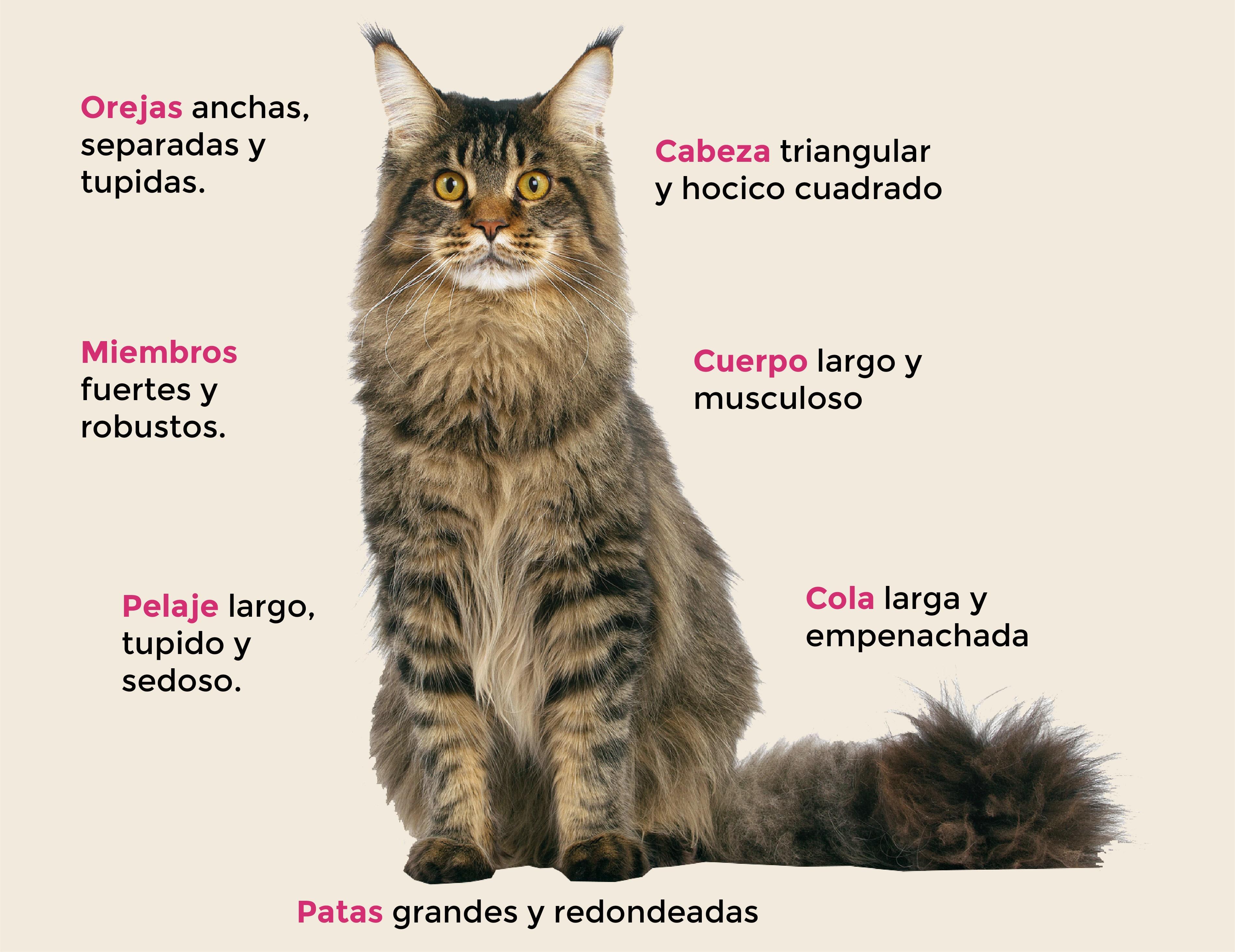 Maine-coon-raza-gato-cat-caracteristicas